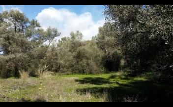 picture of pki275 Buildable plot with olive trees and mountain views, near Vori